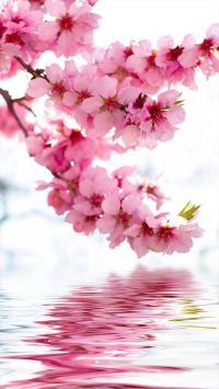 樱花 植物 水面 花朵