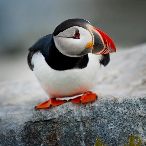 鸟科动物 黑白羽毛 红色嘴巴