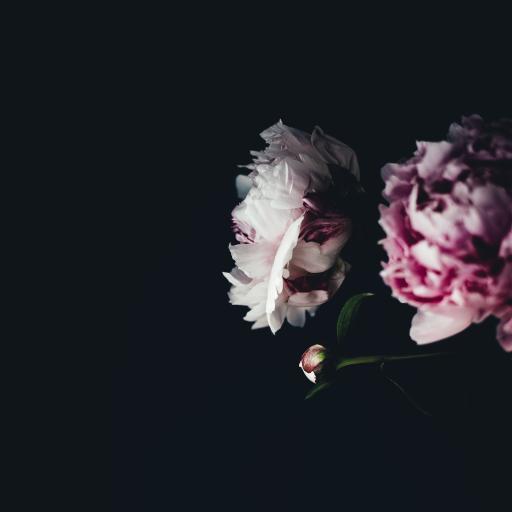 黑色背景 鲜花 粉白相间 绽放
