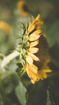 向日葵 鲜花 盛开 枝叶