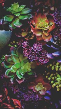 植物 多肉 观音莲 绿色 红色