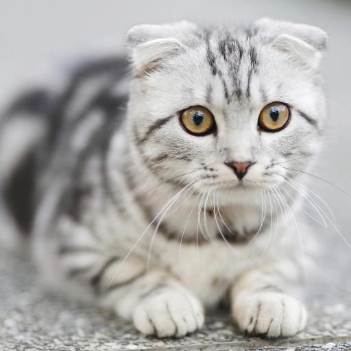 卷耳猫 动物 宠物 温顺可爱