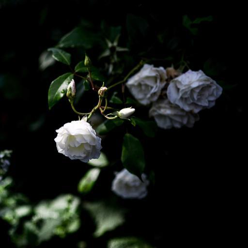 郊外 树丛 白色山茶花 纯洁 绽放