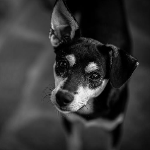 狗 宠物 黑白 动物