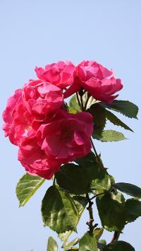 鲜花 植物 盛开 花瓣