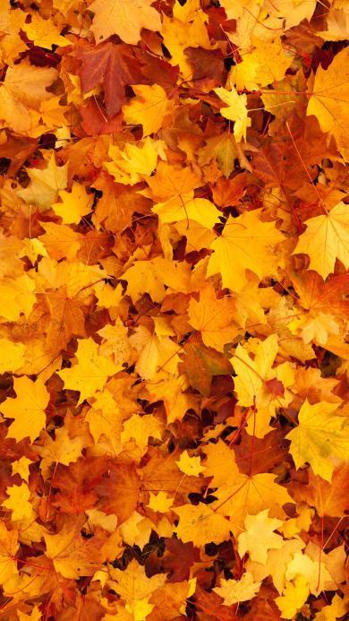 枫叶 落叶 秋天 黄色 枯黄 季节