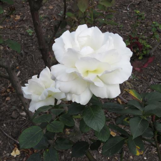 鲜花 白 植物 特写  自然  美丽