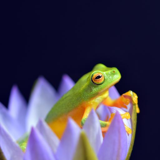 树蛙 青蛙 两栖动物 莲花 睡莲