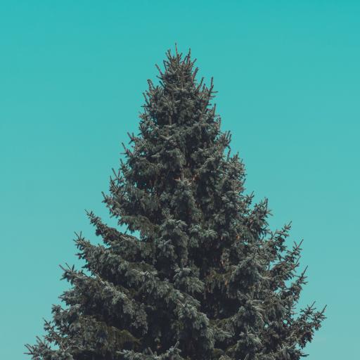 松柏 雪松 树木 植物天空