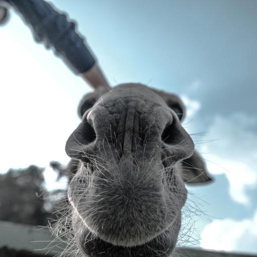 骆驼 黑白 嘴巴鼻子特写
