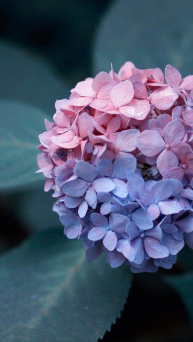 植物 绣球花 花簇 花瓣