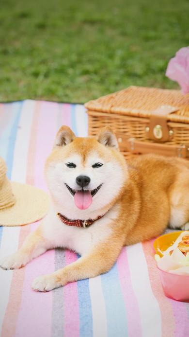 汪星人 行走的表情包 可爱柴犬