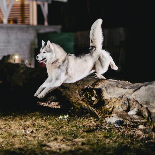 汪星人 宠物狗 阿拉斯加犬