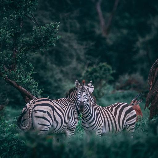 动物 郊外 草丛里的斑马