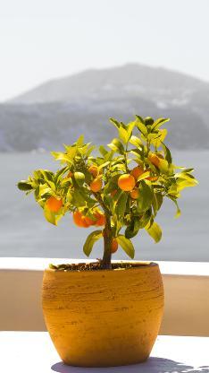 金桔小盆栽 黄色小金橘