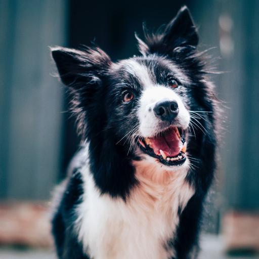 狗 动物 宠物 可爱 乖巧