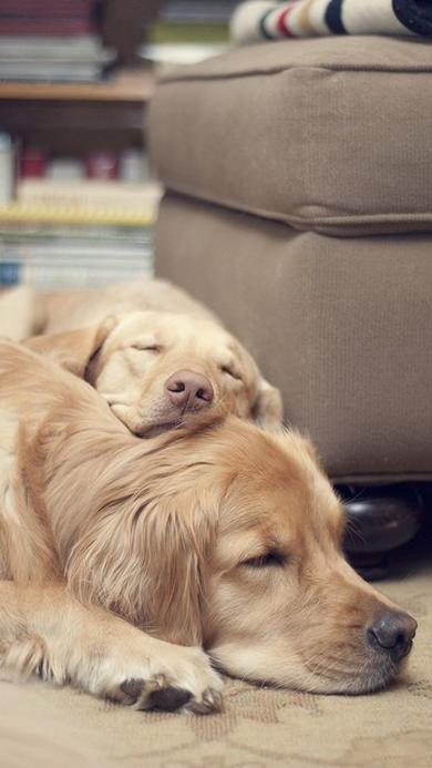 金毛 动物 可爱 睡觉
