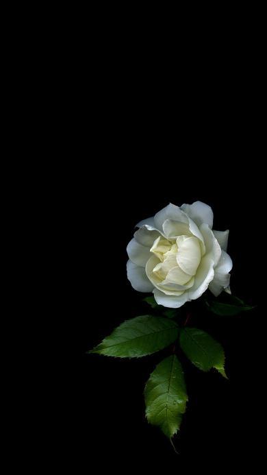 白玫瑰 鲜花 黑色背景 枝叶