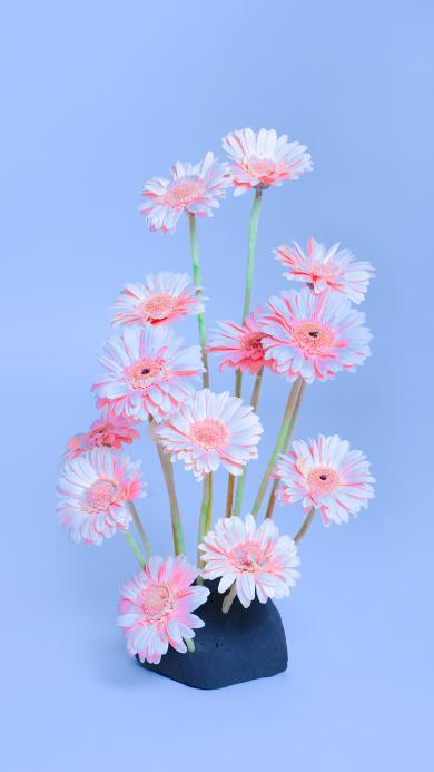 非洲菊 插花 鲜花 唯美 粉色