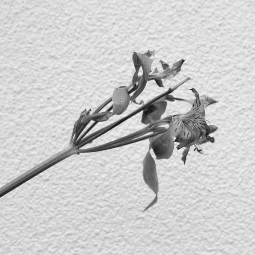 黑白拍摄 鲜花 枯萎 意境