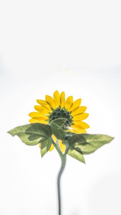 向日葵 植物 向日 枝叶