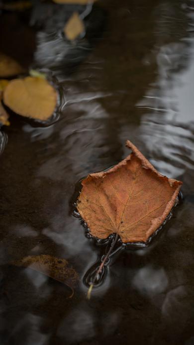 枫叶 落叶 植物 流水