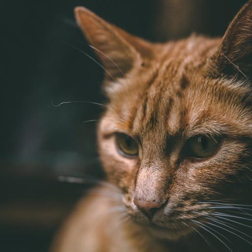 家猫 宠物猫 橘猫 一脸严肃