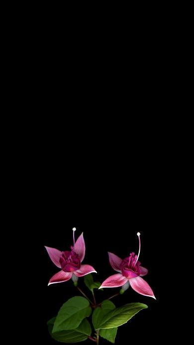 鲜花 枝叶 盛开 黑色背景 唯美