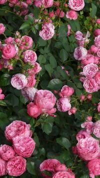蔷薇 鲜花 唯美 浪漫 花丛 枝叶
