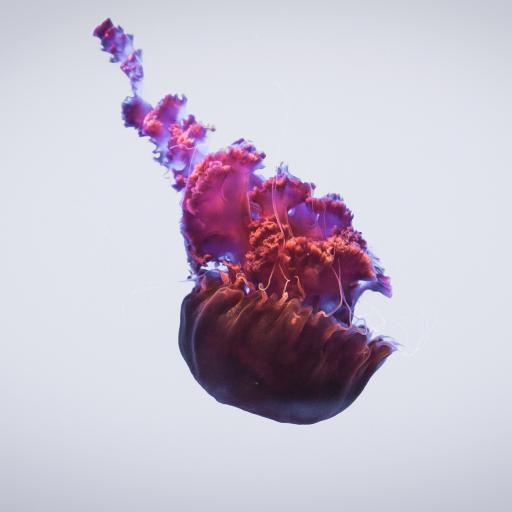 纯色背景 海洋生物 水母 紫色