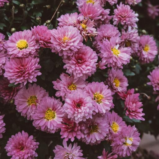 鲜花 雏菊 菊花 粉紫
