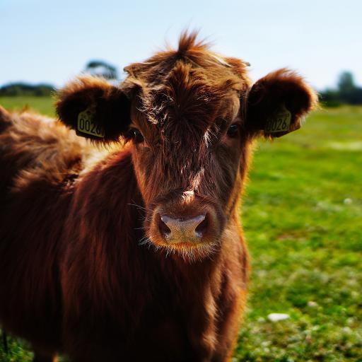 草地 牛犊 棕毛 呆萌