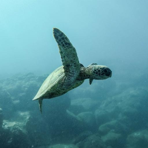 海龟 大海 游泳