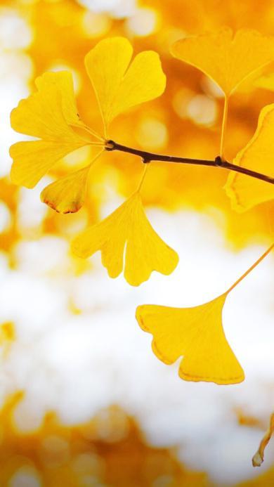 银杏 植物 黄色 滤镜