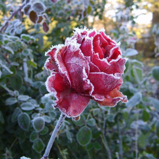 霜降 室外 玫瑰 花朵