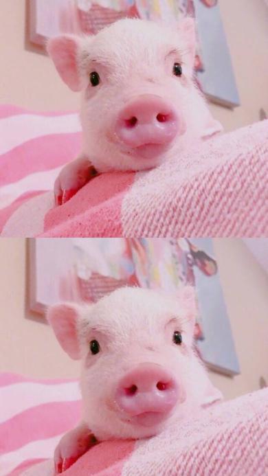 宠物猪 迷你小香猪 呆萌