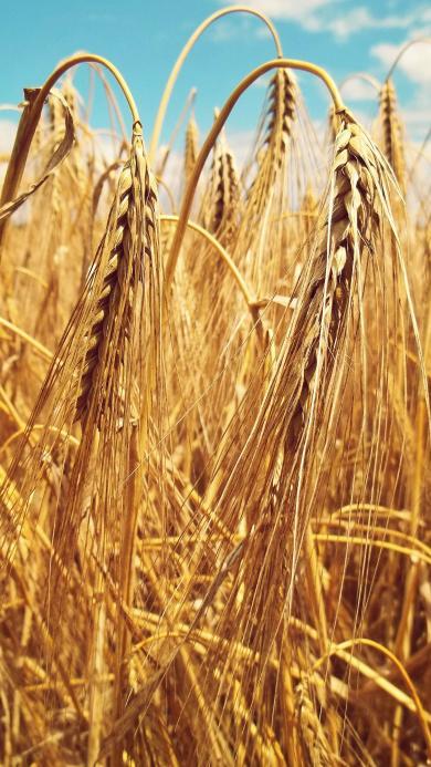 麦穗 丰收 稻谷 粮食 田地