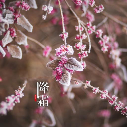 霜降 枝叶 果子 二十四节气