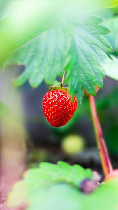 水果 草莓 香甜 绿植