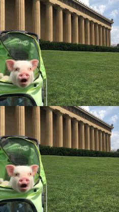 宠物猪 迷你小香猪 草坪