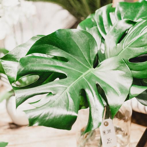 绿叶 龟背竹 蕨类植物