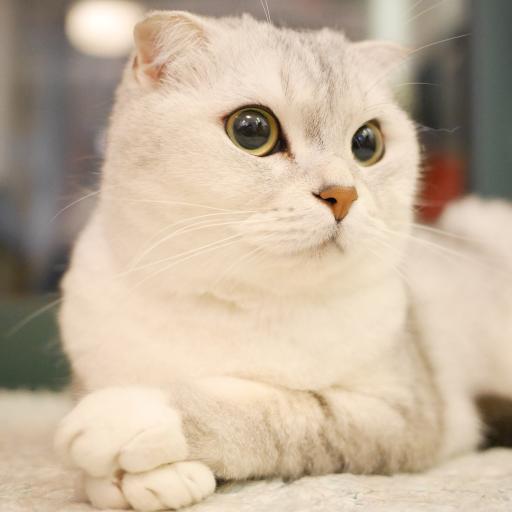 猫咪 端庄 宠物 乖巧