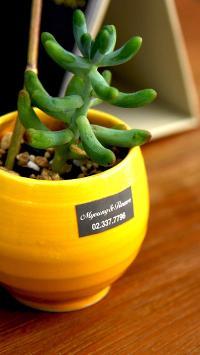小盆栽 多肉 黄色花盆