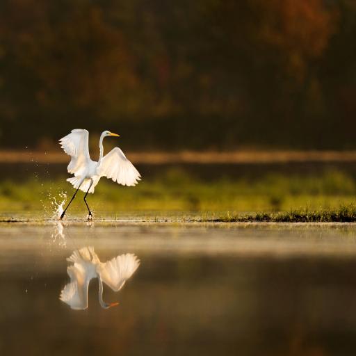 湖面 白鹭 飞鸟 奔跑