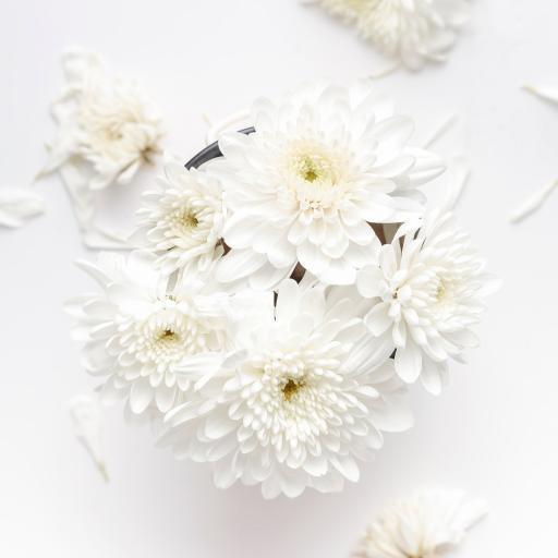 菊花 洁白 花瓣 盛开