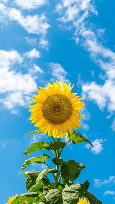 向日葵 鲜花 盛开 蓝天白云