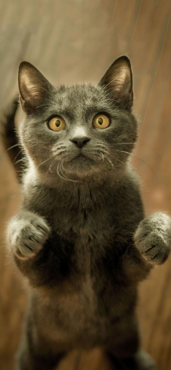 寵物貓 喵星人 站立 呆萌