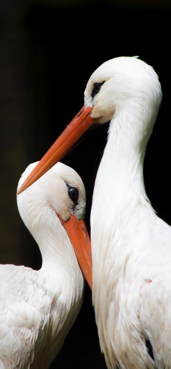 白鹳 送子鸟 德国国鸟 长途迁移性鸟类