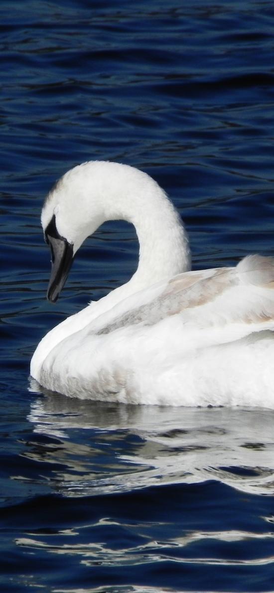 天鹅 湖水  白色 蓝色 动物