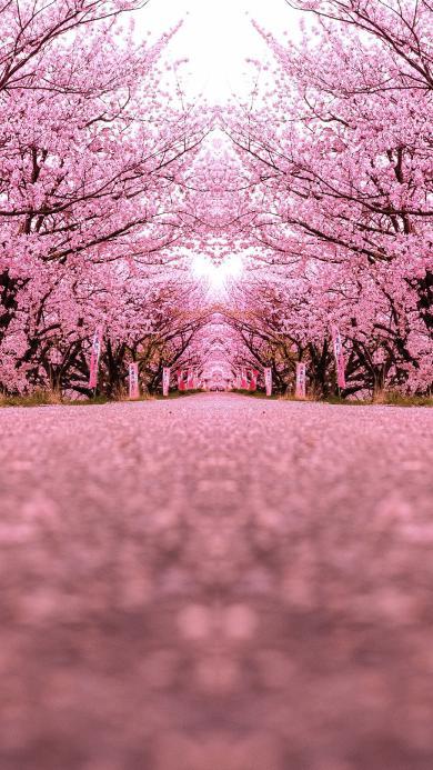 樱花 粉色 浪漫 日本 唯美